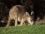 baby wallaby eating