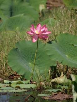 Fogg Dam water lily