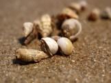 tiny shell crab!