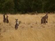 kangaroo symmetry