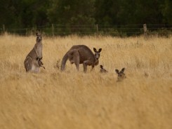 kangaroos and joey in pouch