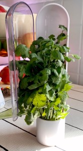 Cilantro in Prepara Herb Saver