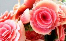 Flores - Rosas