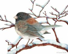 Oregon Junco by Carmen Medlin
