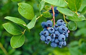 12 Benefits of Blueberries