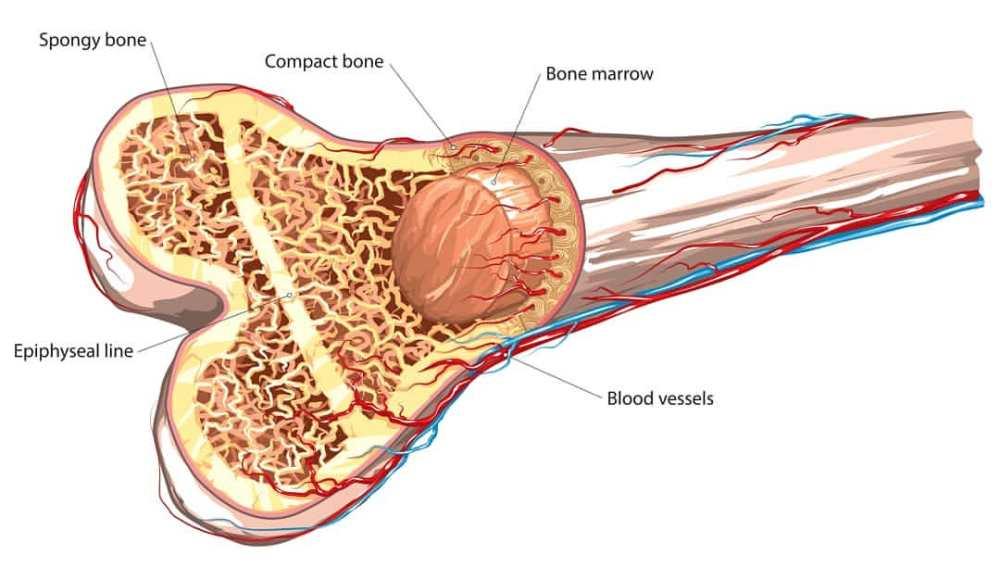 What is Bone Marrow - eBuddy News
