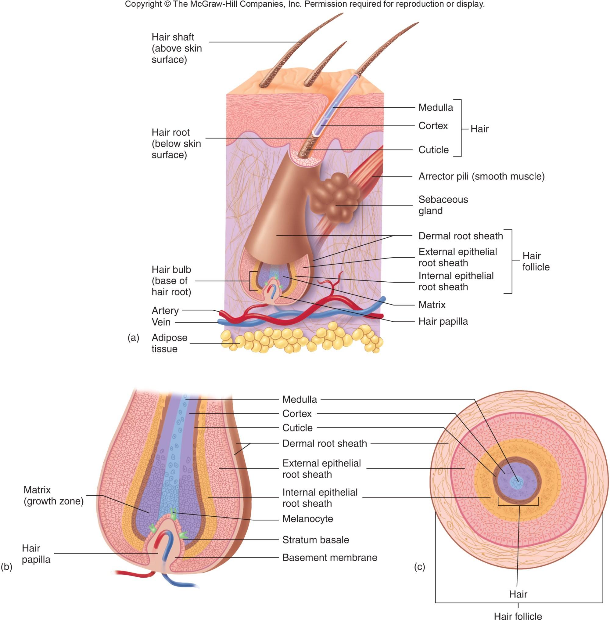 hight resolution of skin system diagram
