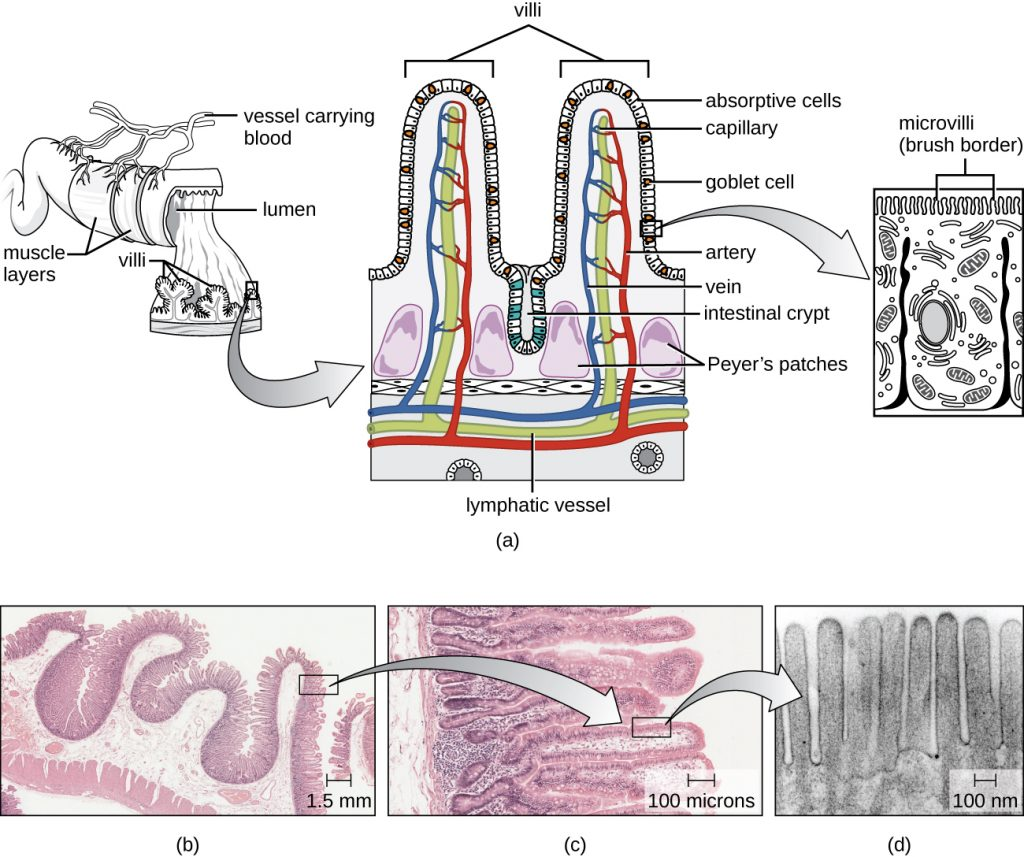 25 1 Anatomy And Normal Microbiota Of The Digestive System