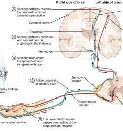 this diagram shows the complete pathway a nerve impulse takes when a person tests the temperature [ 1173 x 825 Pixel ]