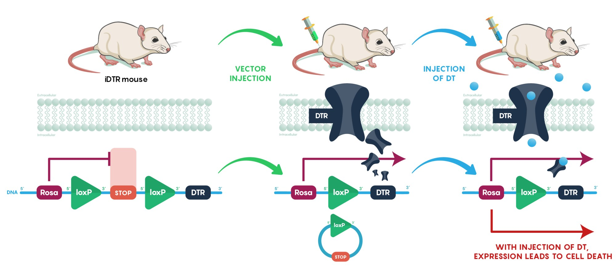 hight resolution of schematic diagram illustrating the concept of using the rosa idtr mouse to eliminate specific groups
