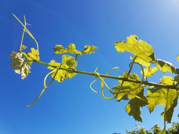 Marlborough vines in Sunshine