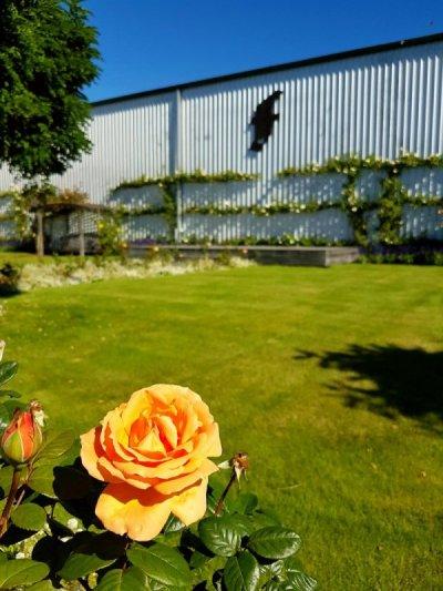 Marlborough Wineries Roses at Framingham
