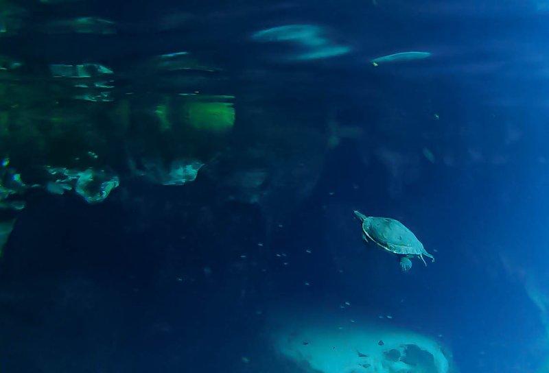turtle gran cenote Best Cenotes Tulum (My Top 3 Cenotes in Tulum)