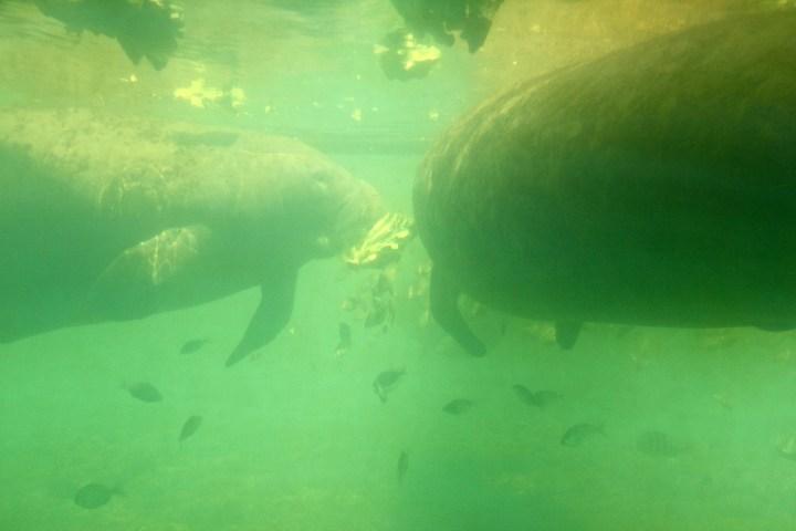 underwater view of manatees at Homosassa Springs