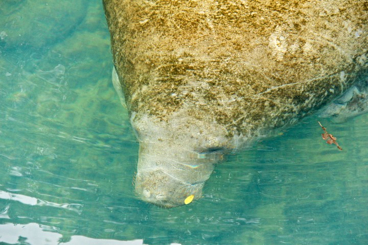 Manatee swimming in a spring