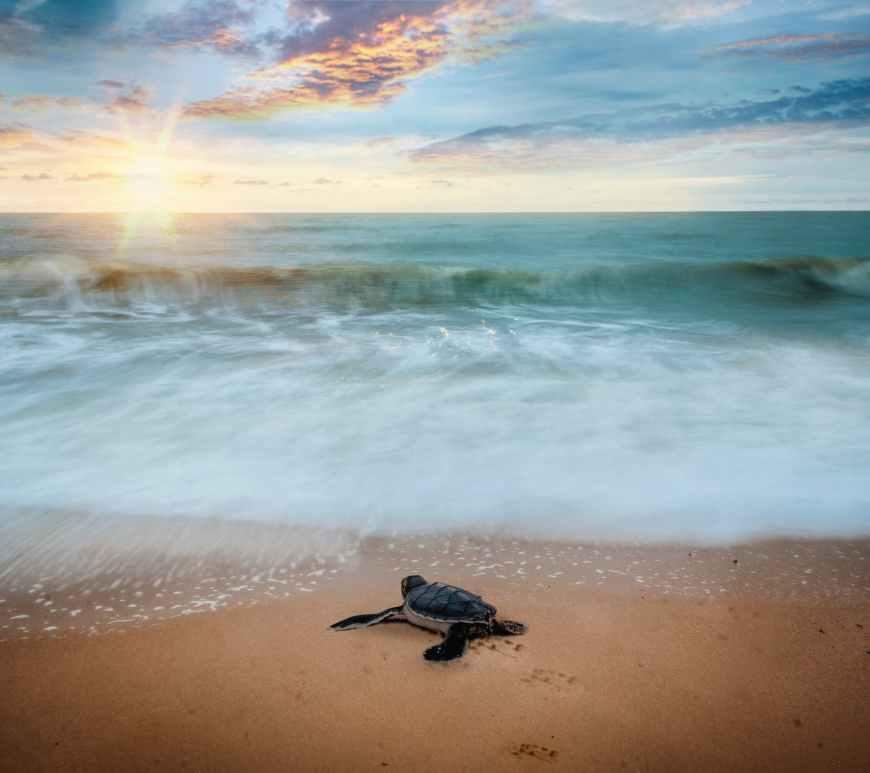 sea turtle hatchling crawling toward ocean