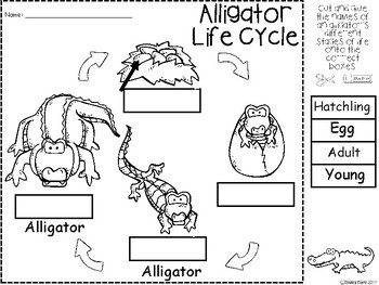 A+ Alligator Life Cycle Labeling & Word Wall by Regina