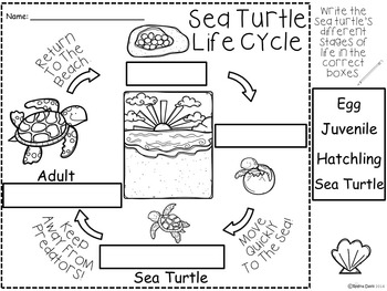 A+ Sea Turtle Life Cycle Labeling & Word Wall by Regina