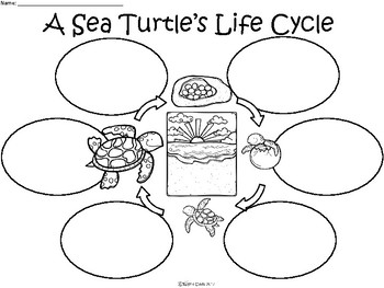 A+ Sea Turtle Life Cycle Three Graphic Organizers by
