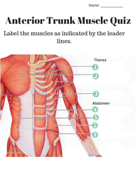 skeletal muscle labeled diagram print 2016 kenworth t660 wiring anterior and posterior trunk labeling quiz key by amazing anatomy