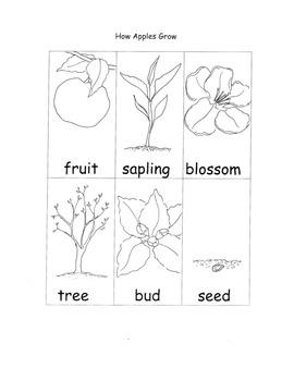 Apple Printable Worksheets Life Cycle Seasons Parts of