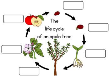 purchasing cycle diagram samsung steam dryer wiring apple tree life worksheet by little blue orange | tpt