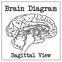 Brain Diagram Inside Trolling Motor Dual Battery Wiring Sagittal Section By Meg English Tpt