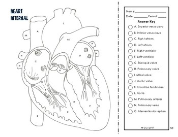 Cardiovascular & Respiratory System Coloring by The