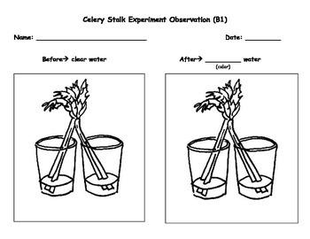 Celery Stalk Experiment Observations Worksheet by SPED
