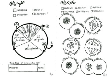 Meiosis Activity Coloring Pages