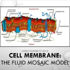 Diagram Of Fluid Mosaic Model Cell Membrane 3 Position Switch Wiring Power Point By Mizzz Foster Tpt