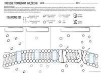 Cell Transport Worksheet - Kidz Activities