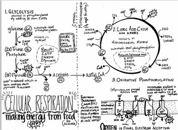 Cellular Respiration Summary Sheet (black and white) by We