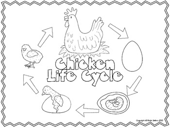 Chicken Life Cycle: {3-D Life Cycle of a Chicken