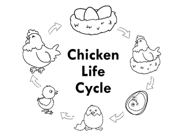 Chicken Life Cycle Clip Art Pictures to Pin on Pinterest