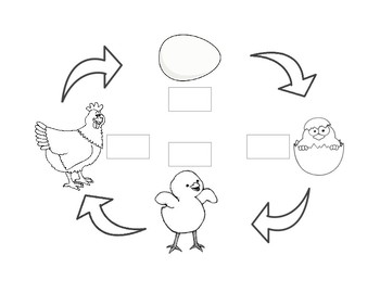 Chicken Life Cycle Worksheet Chicken life Life science and