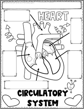 Circulatory System Graphic Organizer Review Activity