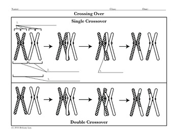Crossing Over and Nondisjunction Diagram Activities by