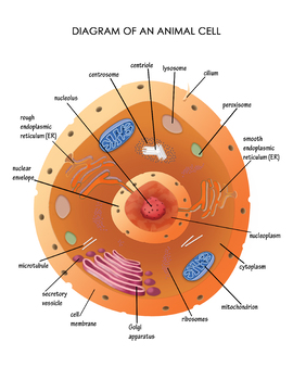 Animal Cell Unlabeled : animal, unlabeled, Diagram, Animal, Weird, Homeschoolers