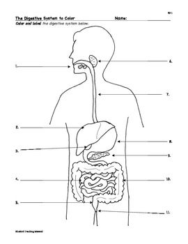 Digestion: Digestive System Facts, Color, Worksheet