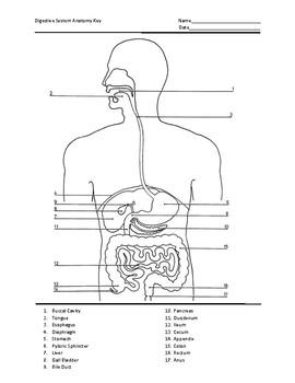 Digestive System Anatomy Test by Jeremy Scholz   TpT