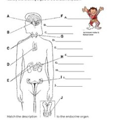 Endocrine System Diagram 2 Hp Single Phase Motor Wiring Worksheet By The Lab Assistants Tpt