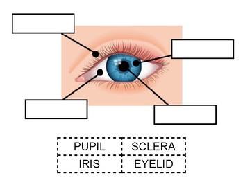parts of the eyelid diagram citroen berlingo wiring eye cut paste worksheet by nikki squillante tpt
