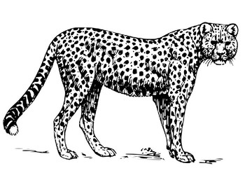 Free Grassland Animals Cheetah Coloring Page By The Harstad Collection