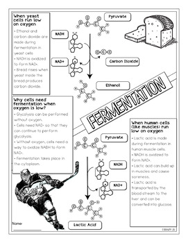 Fermentation Biology Doodle Diagram Notes by Science With