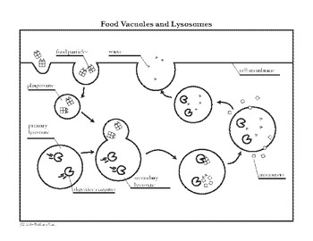 Food Vacuole Lysosome Cell Diagram Coloring Page and
