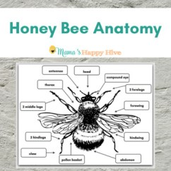 Bumble Bee Diagram Wiring Double Light Switch Honey Anatomy By Mama S Happy Hive Montessori Learning With Play