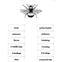 Hornet Anatomy Diagram Building Wiring Honey Bee By Mama S Happy Hive Montessori Learning