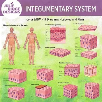 integumentary system diagram labeled 5 circle venn generator human anatomy diagrams by julie ridge designs