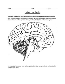 human brain diagram label evacuation plan software teaching resources teachers pay coloring and labeling with key